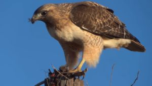 Red-tailed hawk eating a mouse. (Justin Ormont)